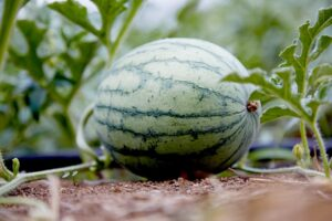 How to grow watermelon ؟